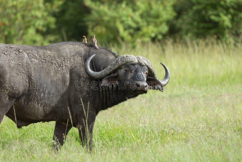 Przylądka bizon, Syncerus caffer caffer, i oxpeckers, Maasai Mara, Kenja, Afryka zdjęcia royalty free
