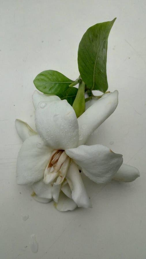 Przylądka jaśminu, gardeni kwiat/ obraz royalty free