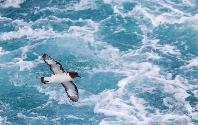 Przylądka petrel lata właśnie nad ocean blisko Falkland wysp fotografia stock