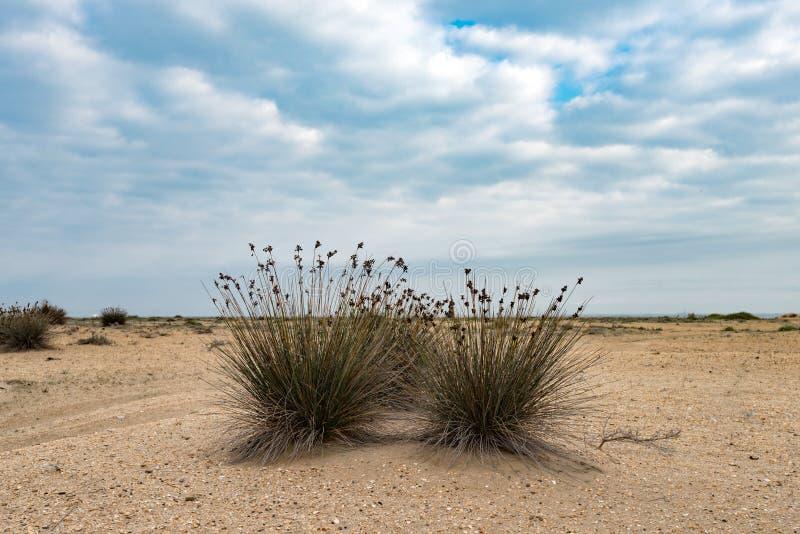 Przylądka pośpiech, egzotyczna roślina obrazy stock