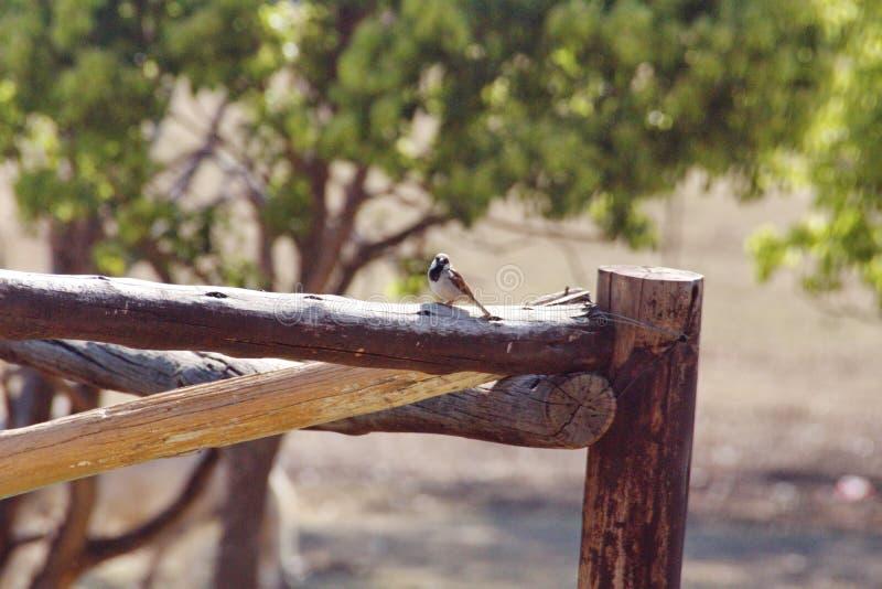 Przylądka wróbel na ogrodzeniu zdjęcia royalty free