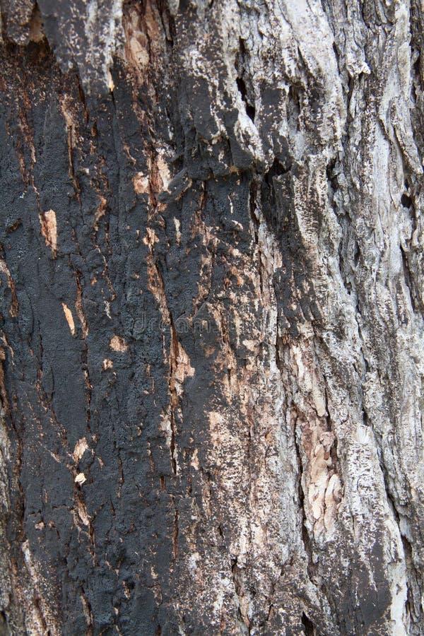 Przypalający Dębowy drzewo obraz royalty free