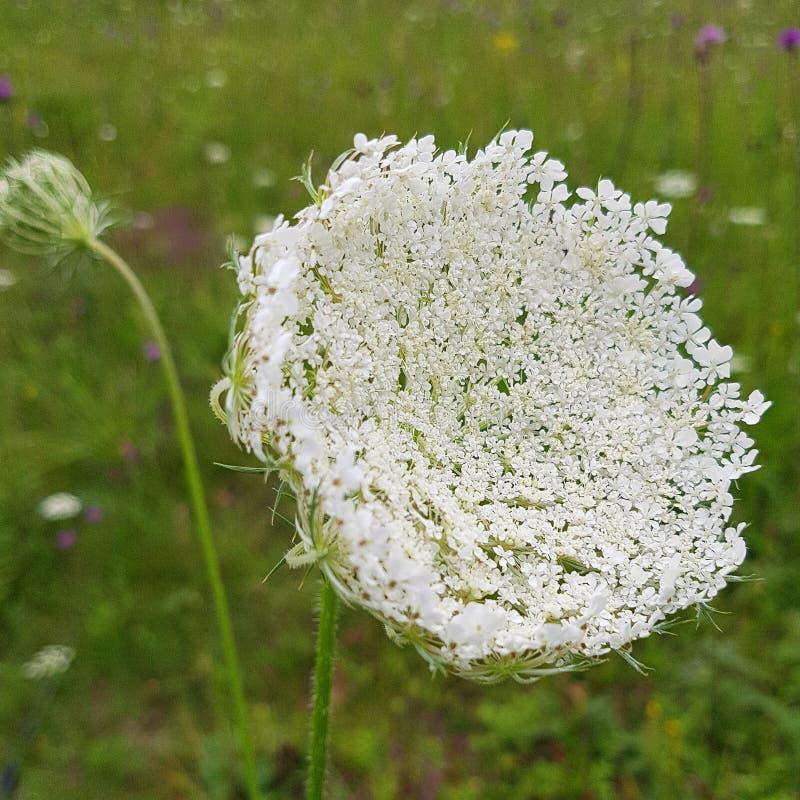 Przypowieściowy Białych kwiatów kwiatostan w łące fotografia royalty free