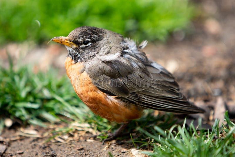Przyrod faun ptaków rudzika Czerwony Pomarańczowy Amerykański nieletni zdjęcie royalty free