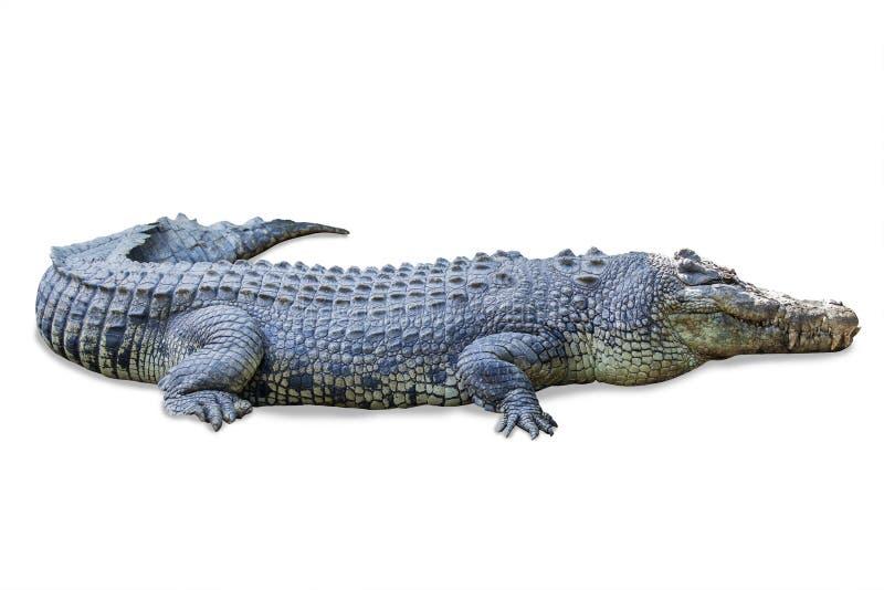 Przyroda krokodyl odizolowywający na bielu zdjęcie royalty free