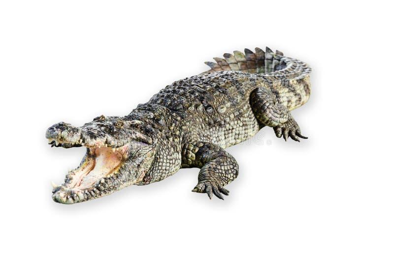 Przyroda krokodyla otwarty usta odizolowywający na białym tle zdjęcia stock