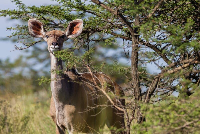 Przyroda kudu samiec zwierzę obrazy stock