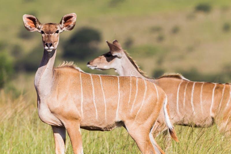 Przyroda kudu samiec zwierzęta obrazy royalty free