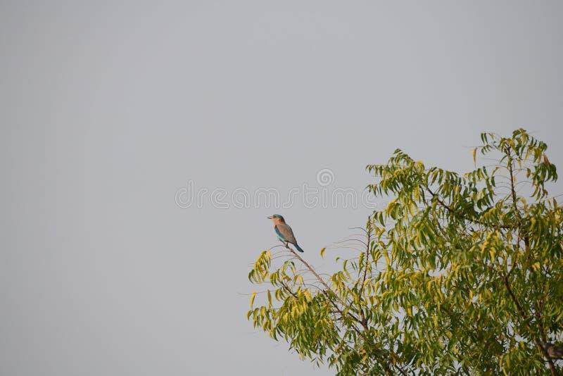 Przyroda, ptaki wspaniali, piękny, India rolownik obrazy royalty free