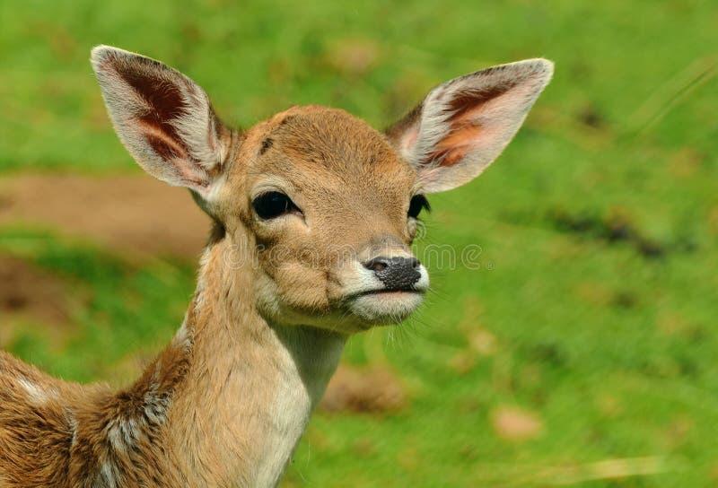 Przyroda, rogacz, fauny, ssak fotografia royalty free