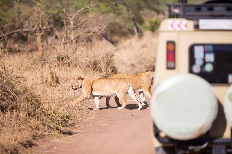 Przyroda safari turyści na gry przejażdżce zdjęcie royalty free