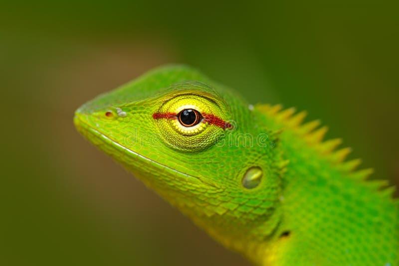 Przyroda Sri Lanka Zielona Ogrodowa jaszczurka, Calotes calotes, szczegółu oka egzotyczny zwrotnika zwierzę w zielonym natury sie fotografia royalty free