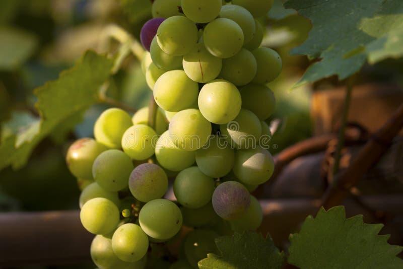 Przyrodni dojrzali winogrona fotografia royalty free