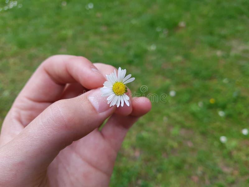 Przyrodnia stokrotka w ręce zdjęcie stock