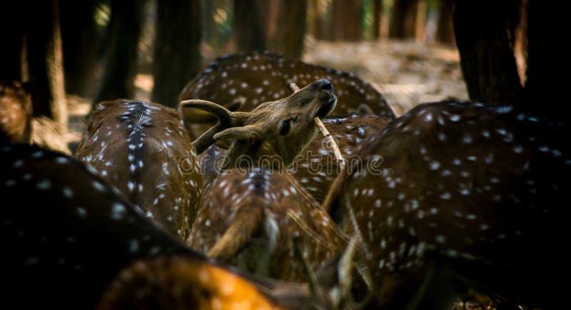 Przyrody fotografia, jelenia fotografia, przyrody fotografia obraz royalty free