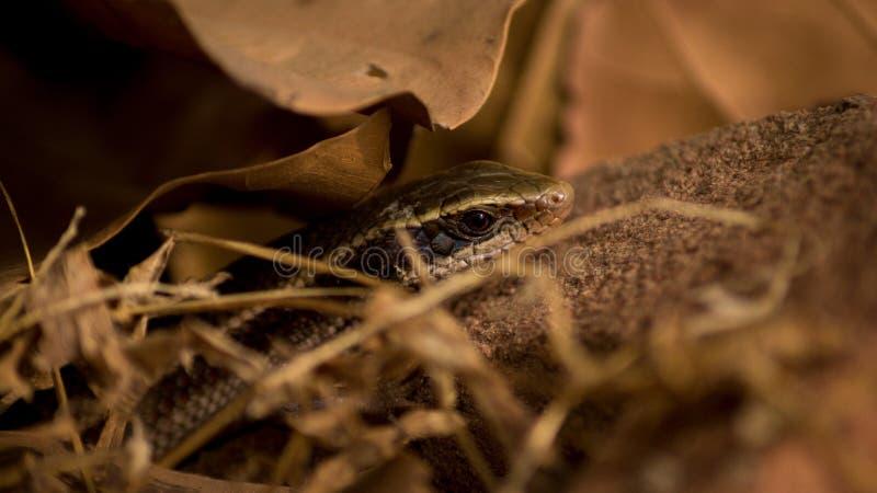 Przyrody fotografia, wąż fotografia, przyrody fotografia zdjęcie royalty free