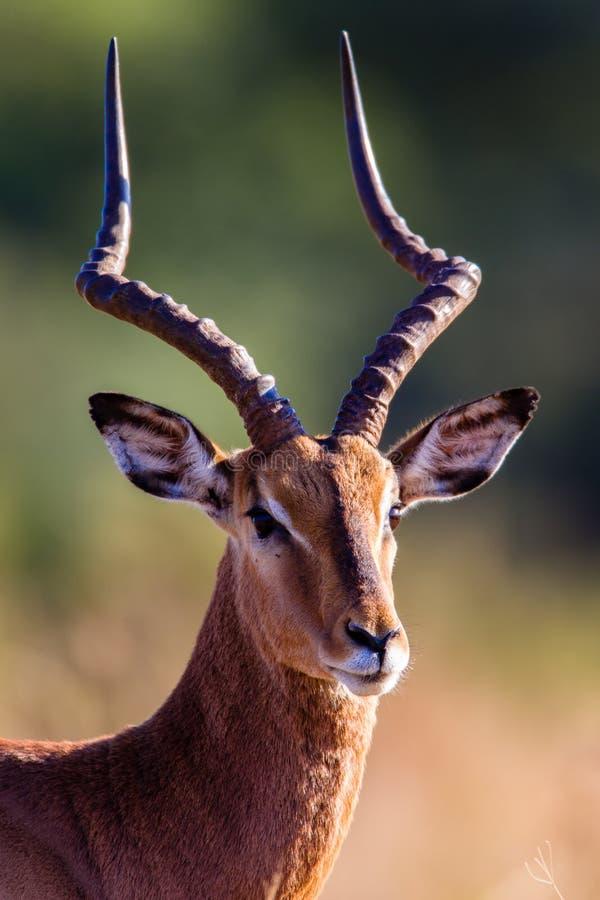 Przyrody Impala Samiec Głowy Portret obrazy stock
