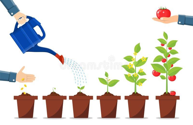 Przyrost roślina w garnku, od flancy warzywo ilustracja wektor