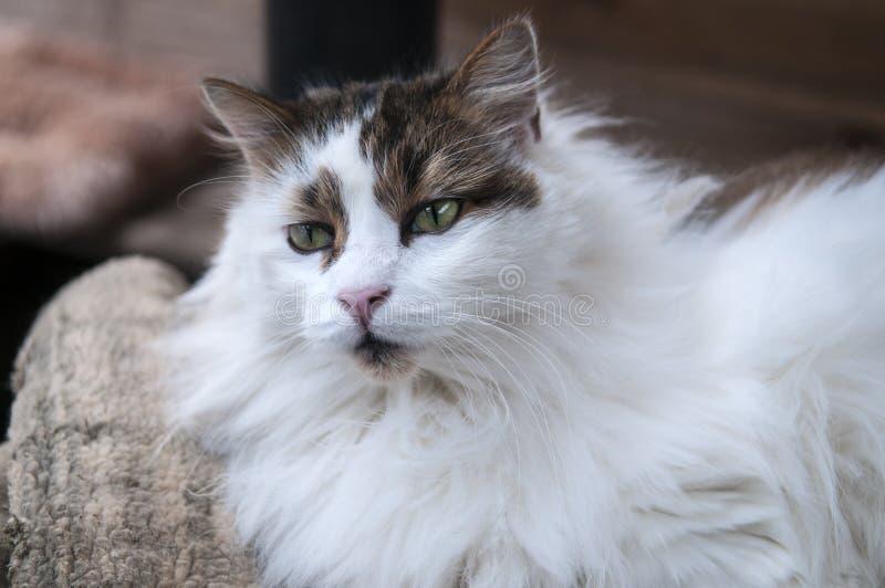 Przystojny Długi Z włosami kot zdjęcia stock