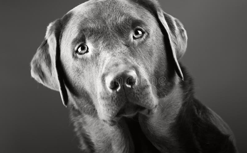 przystojny labrador zdjęcia stock