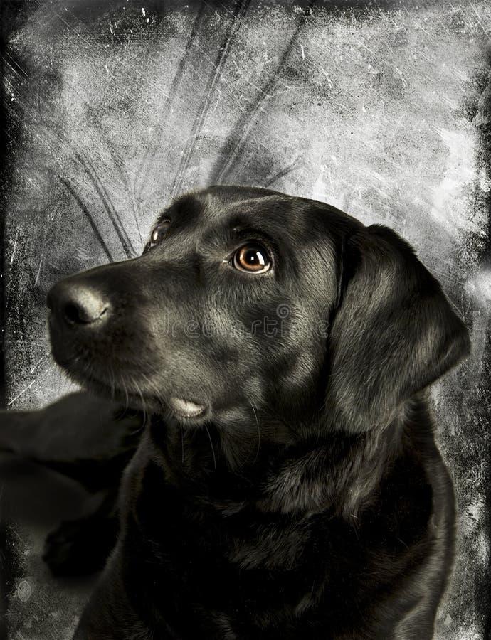 przystojny labrador obraz stock