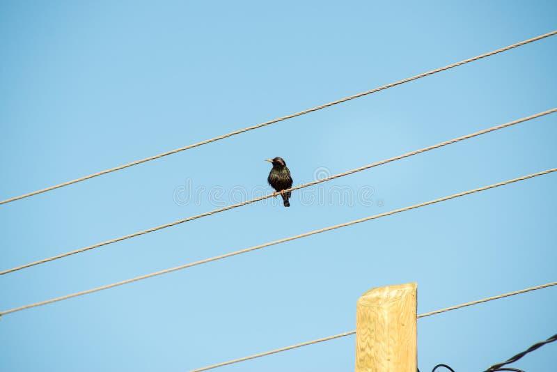 Przystojny szpaczek siedzi na spojrzeniach i drutach z birdhouse zdjęcia royalty free