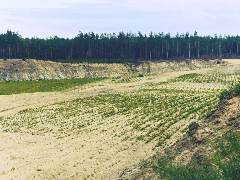 Przywrócenie część minujący piaska łup, zasadza młodego sosnowego las fotografia stock