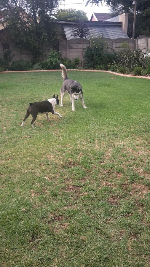 psów bawić się fotografia stock