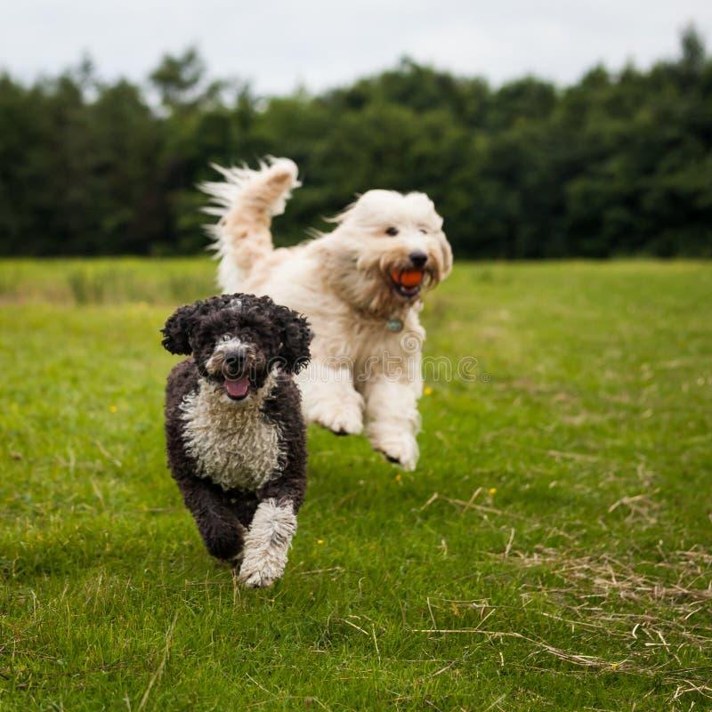 psów bawić się zdjęcie royalty free