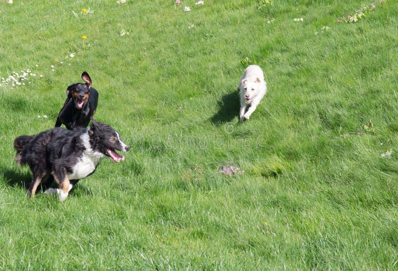 psów bawić się obraz royalty free