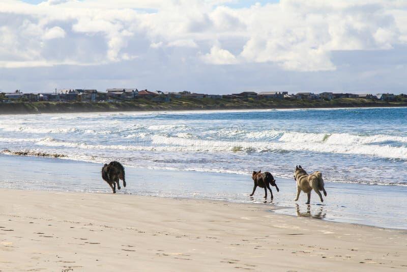 Psów bieg na piaskowatej plaży pościg inny fotografia royalty free