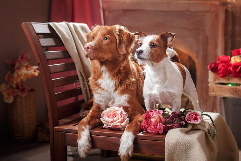 Psów Jack Russell Terrier i Psiej nowa Scotia kaczki aporteru Tolling portret jest prześladowanym lying on the beach na krześle w obrazy royalty free