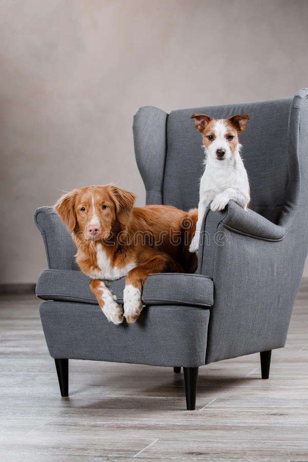 Psów Jack Russell Terrier i Psiej nowa Scotia kaczki Tolling aporter fotografia royalty free
