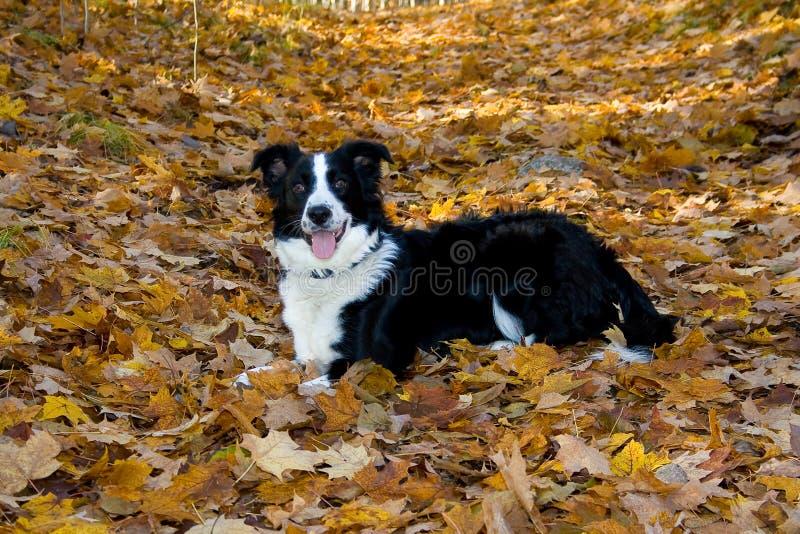 psów liść obrazy stock
