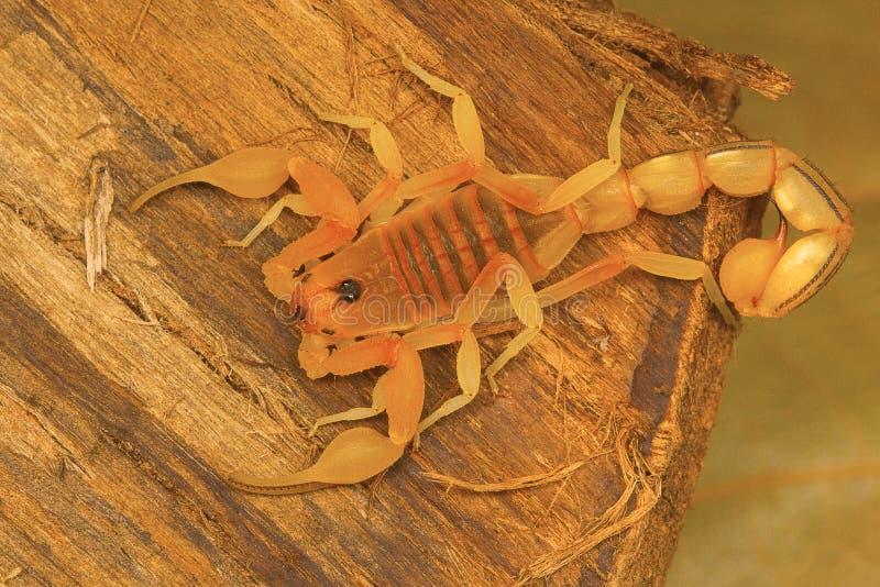 PS à queue adipeuse de Hottentotta de scorpion de Kanyakumari, Tamil Nadu image libre de droits