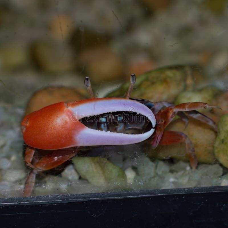 PS d'Uca de crabe de violoneur image libre de droits