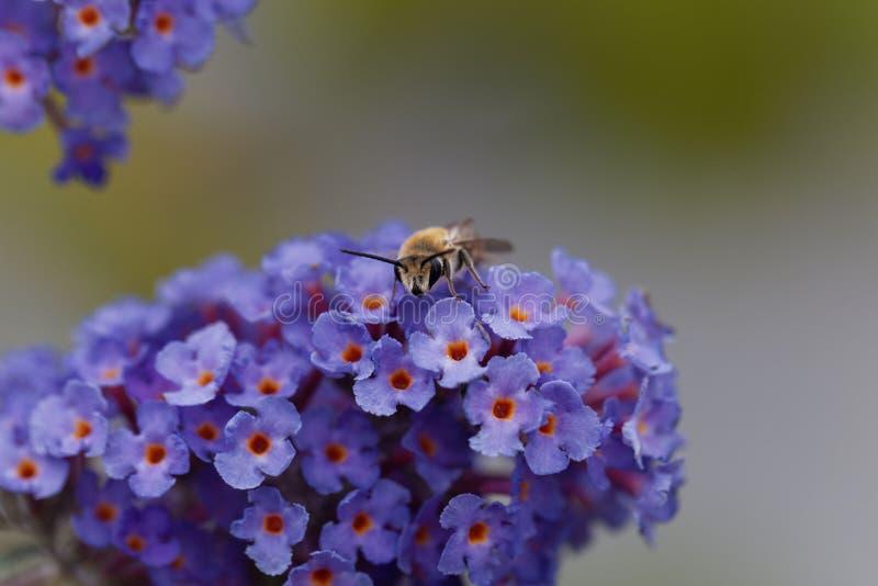 PS de Colletes d'abeille de plâtrier Sur une fleur images libres de droits