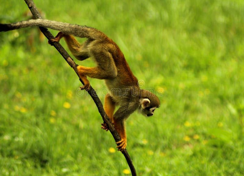 PS de Saimiri de singe-écureuil au ZOO Prague photographie stock