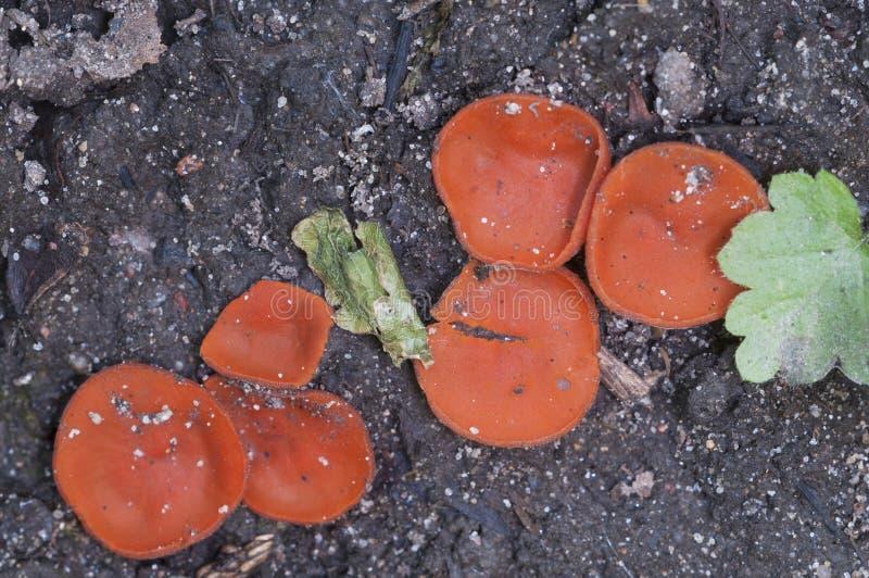 PS de Scutellinia mycète images stock