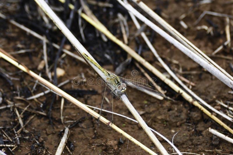 PS de trithemis de libellule de Pale Yellow And Black Dropwing Sur la tige d'herbe image stock