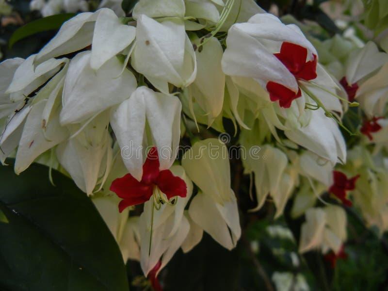 PS di Clerodendron pianta tropicale della lamiaceae della famiglia fotografie stock