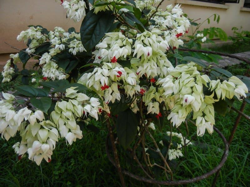PS di Clerodendron pianta tropicale della lamiaceae della famiglia fotografia stock