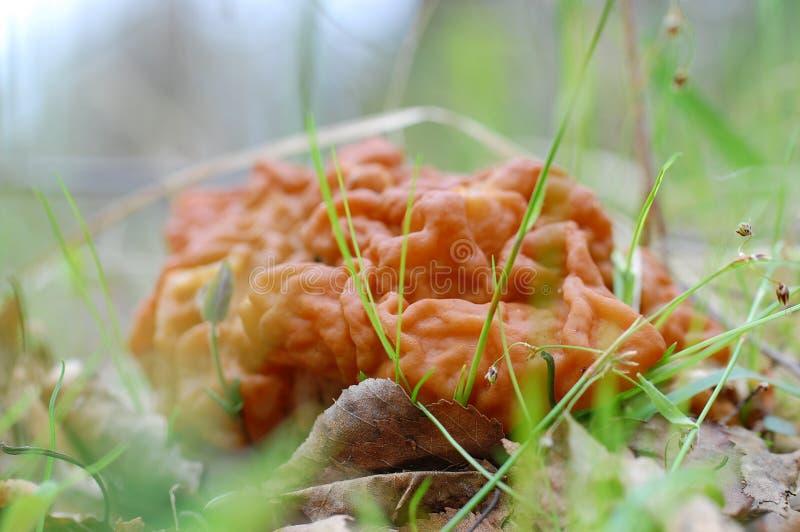 PS di Gyromitra , un fungo dell'ascomicete fotografia stock