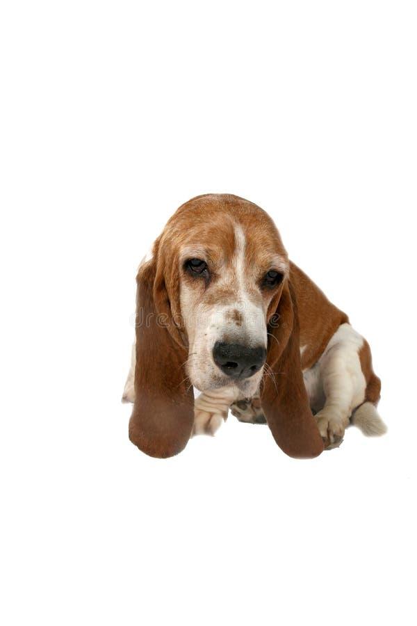 psa baseta hound posiedzenia zdjęcia stock