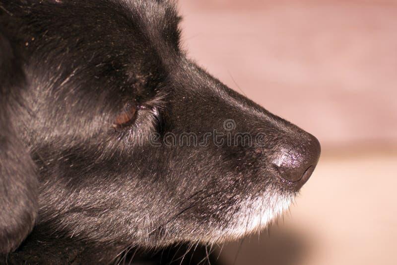 Psa nos obrazy stock