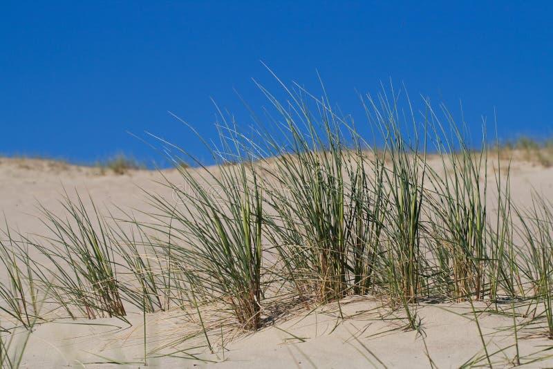 Psamma arenaria in dune di sabbia fotografia stock libera da diritti