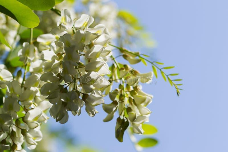 Pseudacacia di Robinia dell'albero di locusta con i fiori fotografia stock