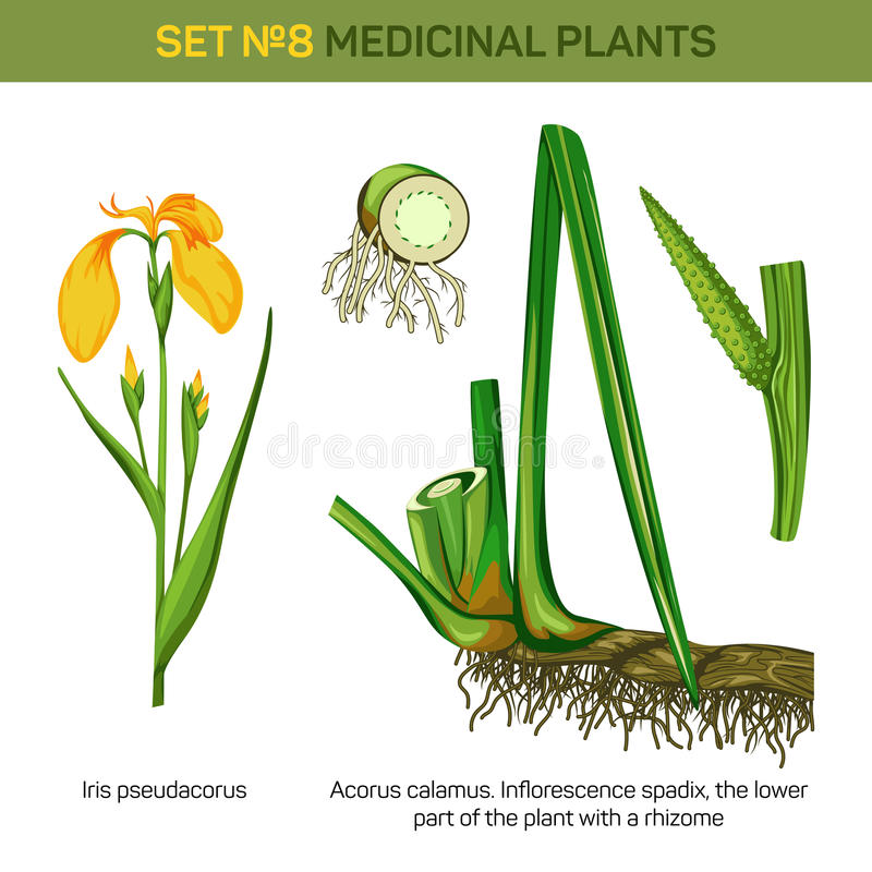 Pseudacorus dell'iride o bandiera medica dell'acqua e di giallo, leva e parte inferiore o radici, rizoma della spadice dell'inflo illustrazione vettoriale