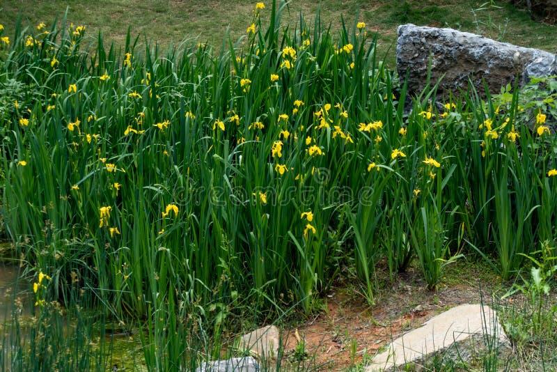 Pseudacorus L d'iris photo stock