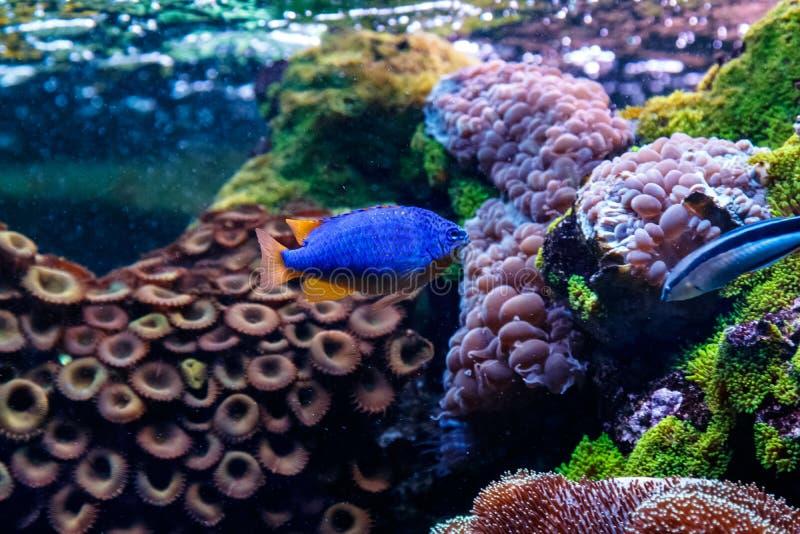 Pseudanthias för fiskAntias lyretail squamipinnis arkivfoton